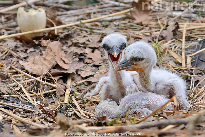 Recently hatched White stork (Ciconia ciconia) chicks begging for food in their nest. In captive breeding colony raising young birds for UK White Stork reintroduction project at the Knepp Estate. Cotswold Wildlife Park, Oxfordshire, UK, April 2019. Property released.  ,  Animal,Wildlife,Vertebrate,Bird,Birds,Stork,White stork,Animalia,Animal,Wildlife,Vertebrate,Aves,Bird,Birds,Ciconiiformes,Ciconiidae,Stork,Ciconia,Ciconia ciconia,White stork,European white stork,Europe,Western Europe,UK,Great Britain,England,Young Animal,Baby,Chick,Animal Home,Nest,Restoration,Animal Behaviour,Conservation,Behaviour,Captive breeding,Species recovery programs,Rewilding,Sussex,Wildlife conservation,Begging,Reintroduction,Reintroduced,Behavioural,,catalogue12  ,  Nick Upton