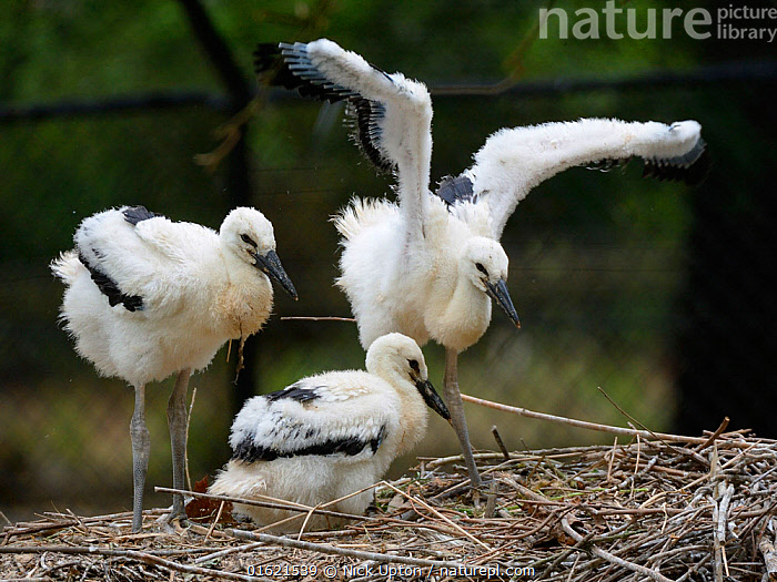 White stork (Ciconia ciconia) chicks standing and wing flapping in nest. In captive breeding colony raising young birds for UK White Stork reintroduction project at the Knepp Estate. Cotswold Wildlife Park, Oxfordshire, UK, May 2019. Property released., Animal,Wildlife,Vertebrate,Bird,Birds,Stork,White stork,Animalia,Animal,Wildlife,Vertebrate,Aves,Bird,Birds,Ciconiiformes,Ciconiidae,Stork,Ciconia,Ciconia ciconia,White stork,European white stork,Europe,Western Europe,UK,Great Britain,England,Young Animal,Baby,Chick,Animal Home,Nest,Restoration,Conservation,Captive breeding,Species recovery programs,Rewilding,Sussex,Wildlife conservation,Reintroduction,Reintroduced,, Nick Upton