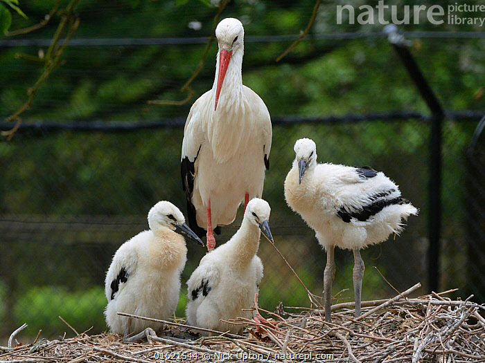 White stork (Ciconia ciconia) parent standing beside its three developing chicks. In captive breeding colony raising young birds for UK White Stork reintroduction project at the Knepp Estate. Cotswold Wildlife Park, Oxfordshire, UK, May 2019. Property released.  ,  Animal,Wildlife,Vertebrate,Bird,Birds,Stork,White stork,Animalia,Animal,Wildlife,Vertebrate,Aves,Bird,Birds,Ciconiiformes,Ciconiidae,Stork,Ciconia,Ciconia ciconia,White stork,European white stork,Europe,Western Europe,UK,Great Britain,England,Young Animal,Baby,Chick,Animal Home,Nest,Restoration,Conservation,Family,Captive breeding,Species recovery programs,Rewilding,Sussex,Wildlife conservation,Reintroduction,Reintroduced,Parent baby,,catalogue12  ,  Nick Upton