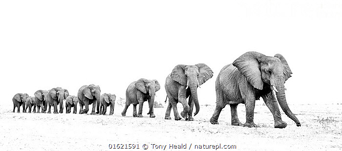 Elephant (Loxodonta africana) herd walking in a line, Etosha National Park, Namibia., Animal,Wildlife,Vertebrate,Mammal,Elephant,African elephants,African elephant,Animalia,Animal,Wildlife,Vertebrate,Mammalia,Mammal,Proboscidea,Elephantidae,Elephant,Loxodonta,African elephants,Loxodonta africana,African elephant,Following,Follow,Follows,Africa,Southern Africa,Namibia,South-West Africa,B/W,Monochromatic,Reserve,Protected area,National Park,Namibian,Moving,Etosha National Park,Movement,Endangered species,threatened,Endangered, Tony Heald