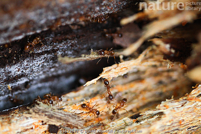 Brown tree ants (Lasius brunneus) in rotting wood, Epping Forest, Essex, UK. May.  ,  Animal,Wildlife,Arthropod,Insect,Ant,Brown Tree Ant,Animalia,Animal,Wildlife,Hexapoda,Arthropod,Invertebrate,Hexapod,Arthropoda,Insecta,Insect,Hymenoptera,Formicidae,Ant,Lasius,Decomposition,Decaying,Europe,Western Europe,UK,Great Britain,England,Essex,Wood,Wooden,Restoration,Conservation,Rewilding,Lasius brunneus,Brown Tree Ant,  ,  David  Woodfall