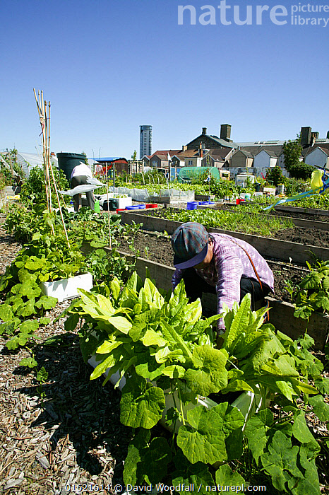 Woman tending plants in the Vetch Community Garden which was formerly a part of Swansea City football ground, Swansea, UK. July., People,Woman,Food,Vegetable,Vegetables,Garden,Building,Residential Structure,House,Houses,Plot,Plots,Vegetable Garden,Vegetable Gardens,Vegetable Plot,Vegetable Plots,Summer,Restoration,Horticulture,Gardening,Nature taking over,Rewilding,Regeneration,, David  Woodfall