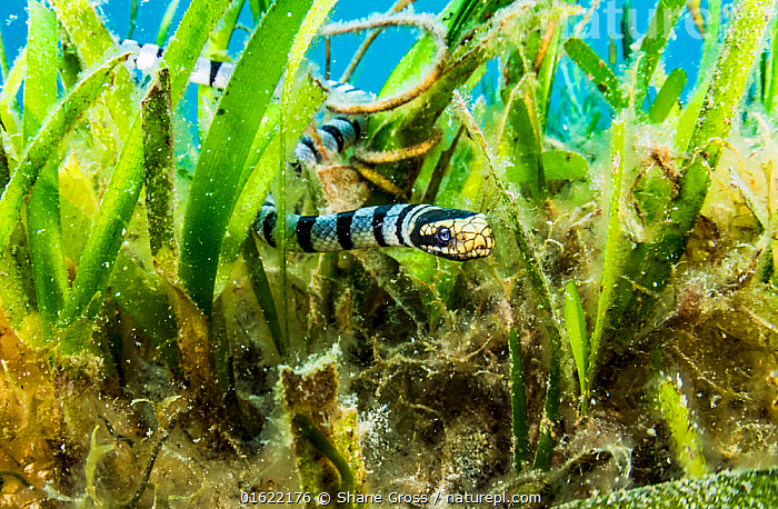 A Banded sea krait (Laticauda colubrina) searches a seagrass bed for food, off North Sulawesi, Indonesia.  ,  Animal,Wildlife,Vertebrate,Reptile,Squamate,Viper,Sea krait,Banded sea krait,Animalia,Animal,Wildlife,Vertebrate,Reptilia,Reptile,Squamata,Squamate,Viperidae,Viper,Viperid snakes,Snake,Laticauda,Sea krait,Laticauda colubrina,Banded sea krait,Yellow-lipped sea krait,Platurus colubrinus,Hydrus Colubrinus,Platurus fasciatus,Asia,South East Asia,Indonesia,Tropical,Ocean,Marine,Underwater,Water,Indo Pacific,Saltwater,Biodiversity hotspot,Sulawesi,Wallacea,North Sulawesi,Venomous  ,  Shane Gross