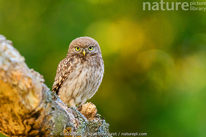 Little Owl (Athene noctua) juvenile perched on tree branch. London. July  ,  Animal,Wildlife,Vertebrate,Bird,Birds,Owl,Little owl,Animalia,Animal,Wildlife,Vertebrate,Aves,Bird,Birds,Strigiformes,Owl,Bird of prey,Strigidae,Striginae,Athene,Athene noctua,Little owl,Size,Small,Europe,Western Europe,UK,Great Britain,England,London,Greater London,Young Animal,Summer,Nature,  ,  Oscar Dewhurst