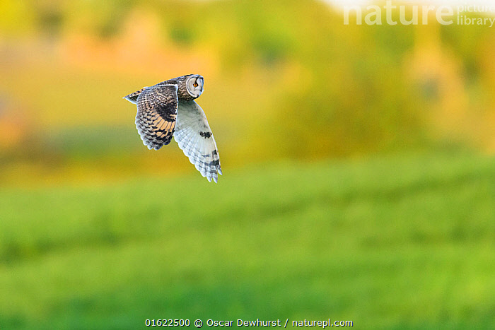 Long-eared Owl (Asio otus) in flight over farmland. Durham, UK. May  ,  Animal,Wildlife,Vertebrate,Bird,Birds,Bird of prey,Buzzard,Kite,Elanid kite,Harrier hawk,Hawk,Goshawk,Eagle,Sea eagle,Snake eagle,Serpent eagle,True eagle,Hawk eagle,Secretary bird,Osprey,Owl,Long eared owl,Harrier,Animalia,Animal,Wildlife,Vertebrate,Aves,Bird,Birds,Accipitriformes,Accipitridae,Hamirostra,Bird of prey,Raptor,Kaupifalco,Buzzard,Pernis,Butastur,Ictinia,Kite,Rostrhamus,Macheiramphus,Elanoides,Elanid kite,Chelictinia,Harpagus,Milvus,Haliastur,Polboroides,Harrier hawk,Harrier,Circus,Buteogallus,Hawk,Busarellus,Geranoaetus,Parabuteo,Geranospiza,Morphnarchus,Leucopternis,Buteo,Melierax,Goshawk,Accipiter,Oroaetus,Eagle,Haliaeetus,Sea eagle,Ichthyophaga,Circaetus,Snake eagle,Terathopius,Spilornis,Serpent eagle,Serpent eagles,Morphnus,Harpia,Pithecophaga,Aquila,True eagle,True eagles,Lophaetus,Nisaetus,Hawk eagle,Stephanoaetus,Polemaetus,Micronisus,Hieraaetus,Hawkeagle,Spizaetus,Sagittariidae,Secretary bird,Pandionidae,Osprey,Strigiformes,Owl,Strigidae,Striginae,Asio,Asio otus,Long eared owl,Northern long eared owl,Common long eared owl,Strix otus,Flying,Europe,Western Europe,UK,Great Britain,England,Spring,Nature,Birds of Prey,  ,  Oscar Dewhurst