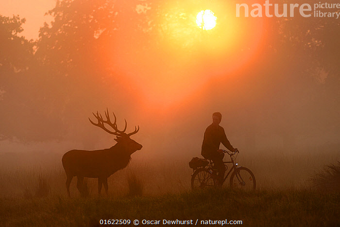 Red deer (Cervus elaphus) stag and cyclist in Richmond Park, London at sunrise. UK. September, Animal,Wildlife,Vertebrate,Mammal,Deer,Red Deer,Animalia,Animal,Wildlife,Vertebrate,Mammalia,Mammal,Artiodactyla,Even-toed ungulates,Cervidae,Deer,True deer,ruminantia,Ruminant,Cervus,Cervus elaphus,Red Deer,People,Cyclist,Bicyclist,Bicyclists,Cyclists,Europe,Western Europe,UK,Great Britain,England,London,Greater London,Inner London,Back Lit,Male Animal,Stag,Stags,City,Sunlight,Light Ray,Nature,Silhouette,Natural Light,, Oscar Dewhurst