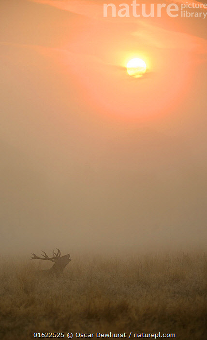 Red deer (Cervus elaphus) stag in misty conditions bellowing whilst sat down in long grass with the rising sun in the background. Richmond Park, London, UK. September, Animal,Wildlife,Vertebrate,Ray-finned fish,Percomorphi,Grouper,Mammal,Deer,Red Deer,Animalia,Animal,Wildlife,Vertebrate,Actinopterygii,Ray-finned fish,Osteichthyes,Bony fish,Fish,Perciformes,Percomorphi,Acanthopteri,Serranidae,Cephalopholis,Grouper,Hind,Mammalia,Mammal,Artiodactyla,Even-toed ungulates,Cervidae,Deer,True deer,ruminantia,Ruminant,Cervus,Cervus elaphus,Red Deer,Vocalisation,Calling,Roaring,Bellowing,Roar,Breathing,Exhaling,Breathing Out,Exhale,Exhales,Courting,Competition,Effort,Exertion,Trying,Motion,Performance,Entertaining,Perform,Performances,Performing,September,Europe,Western Europe,UK,Great Britain,England,London,Greater London,Outer London,Richmond upon Thames,Richmond,Female animal,Doe,Does,Male Animal,Stag,Stags,Plant,Park,Parks,Mist,Sunrise,Autumn,Nature,Grassland,Animal Behaviour,Reproduction,Mating Behaviour,Courtship,Behaviour,The Sun,Rutting,Dawn,Breath,Hinds,Male flower,Male,Behavioural,, Oscar Dewhurst