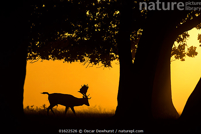 Fallow deer (Dama dama) stag walking, silhouetted underneath trees at sunrise. Bushy Park, London, UK. September  ,  Animal,Wildlife,Vertebrate,Mammal,Deer,Fallow deer,Animalia,Animal,Wildlife,Vertebrate,Mammalia,Mammal,Artiodactyla,Even-toed ungulates,Cervidae,Deer,True deer,ruminantia,Ruminant,Dama,Fallow deer,Dama dama,September,Europe,Western Europe,UK,Great Britain,England,London,Greater London,Back Lit,Male Animal,Stag,Stags,City,Autumn,Nature,Silhouette,  ,  Oscar Dewhurst