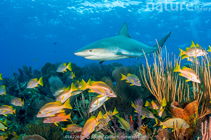 Caribbean reef shark (Carcharhinus perezi) patrolling coral reef with Schoolmaster snapper (Lutjanus apodus) and other fish. Caribbean Sea off Gardens of the Queen National Park, Cuba.  ,  Animal,Wildlife,Cnidarian,Anthrozoan,Vertebrate,Cartilaginous fish,Ground shark,Requiem sharks,Caribbean reef shark,Ray-finned fish,Percomorphi,Snapper,Schoolmaster,Animalia,Animal,Wildlife,Cnidaria,Cnidarian,Coelentrerata,Anthozoa,Anthrozoan,Vertebrate,Chondrichthyes,Cartilaginous fish,Jawed fish,Carcharhiniformes,Ground shark,Carcharhinidae,Requiem sharks,Carcharhinus,Carcharhinus perezi,Caribbean reef shark,Carcharhinus springeri,Eulamia springeri,Platypodon perezii,Actinopterygii,Ray-finned fish,Osteichthyes,Bony fish,Fish,Perciformes,Percomorphi,Acanthopteri,Lutjanidae,Snapper,Lutjanus,Lutjanus apodus,Schoolmaster,Schoolmaster snapper,Schooly,Dogtooth snapper,Neomaneis apodus,Perca apoda,Sparus caxis,Swimming,Patrol,Patroling,Patrols,Group Of Animals,School,Group,The Caribbean,Caribbean,West Indies,Tropical,Seabed,Reef,Reefs,Coral Reef,Coral Reefs,Ocean,Caribbean Sea,Marine,Underwater,Water,Reserve,Mixed species,Saltwater,Biodiversity hotspots,Protected area,National Park,Shark,Gardens of the Queen National Park,Jardines de la Reina,Coral,Invertebrate,Invertebrates,Marine  ,  Shane Gross