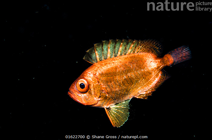 A juvenile soldierfish, possibly a Crescent-tail bigeye (Priacanthus hamrur) in the open ocean at night off Anilao, Philippines.  ,  Animal,Wildlife,Vertebrate,Ray-finned fish,Percomorphi,Bigeye,Alalaua,Animalia,Animal,Wildlife,Vertebrate,Actinopterygii,Ray-finned fish,Osteichthyes,Bony fish,Fish,Perciformes,Percomorphi,Acanthopteri,Priacanthidae,Bigeye,Priacanthus,Priacanthus alalaua,Alalaua,Forskals&#39,s big-eye fish,Hawaiian bigeye,Priacanthus hamrur,Asia,South East Asia,Republic of the Philippines,Plain Background,Black Background,Young Animal,Ocean,Pacific Ocean,Night,Marine,Water,Saltwater,Biodiversity hotspots,Biodiversity hotspot,Philippines,Pelagic,Marine,catalogue12  ,  Shane Gross