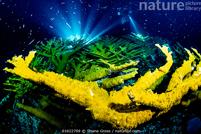 Elkhorn corals (Acropora palmata) at night silhouetted by a scientist's light during the annual coral spawn. Abaco, Bahamas.  ,  Animal,Wildlife,Cnidarian,Anthrozoan,Hard coral,Coral,Acropora coral,Elkhorn coral,Animalia,Animal,Wildlife,Cnidaria,Cnidarian,Coelentrerata,Anthozoa,Anthrozoan,Scleractinia,Hard coral,Acroporidae,Coral,Acropora,Acropora coral,Acropora palmata,Elkhorn coral,Spawning,Colour,Yellow,The Caribbean,Caribbean,West Indies,Tropical,Ocean,Caribbean Sea,Marine,Water,Animal Behaviour,Reproduction,Mating Behaviour,Behaviour,Saltwater,Biodiversity hotspots,Behavioural,Invertebrate,Invertebrates,Marine,Endangered species,threatened,Critically endangered,catalogue12  ,  Shane Gross