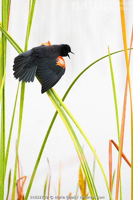 Red-winged Blackbird (Agelaius phoeniceus) male displaying in cattail marsh, Viera Wetlands, Brevard County, Florida, USA, January., Red-winged Blackbird,red,winged,icterid,Icteridae,bird,songbird,passerine,male,sing,singing,call,calling,display,displaying,wingspread,spread-winged,wing,spread,wings,epaulets,epaulettes,shoulder,patches,cattail,cattails,Typha,marsh,wetland,spring,design,pattern,white,green,orange,behavior,behaviour,Florida,North America,American,,Animal,Wildlife,Vertebrate,Bird,Birds,Songbird,New world blackbird,American blackbird,Red winged blackbird,American,Animalia,Animal,Wildlife,Vertebrate,Aves,Bird,Birds,Passeriformes,Songbird,Passerine,Icteridae,New world blackbird,Icterid,Agelaius,American blackbird,Agelaius phoeniceus,Red winged blackbird,Oriolus phoeniceus,North America,USA,Southern USA,Southeast USA,Florida,Male Animal,Plant,Grass Family,Reed,Reeds,Wing,Wetland,Animal Behaviour,Display,Behaviour,Displaying,American,United States of America,Behavioural,,catalogue12, Marie  Read