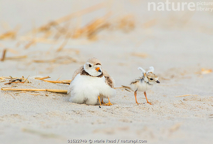 Piping Plover (Charadrius melodus) adult brooding chicks, one chick stretching its wings after being brooded, northern Massachusetts, USA. June. Endangered species.  ,  Piping Plover,plovers,bird,birds,shorebird,shorebirds,Charadriidae,adult,young,baby,chick,parent,brood,brooding,shelter,sheltering,thermoregulation,warm,warming,care,caring,nurture,nurturing,family,breed,breeding,reproduction,precocial,downy,active,stretch,stretching,wings,behavior,behaviour,North America,American,endangered species,threatened,rare,,Animal,Wildlife,Vertebrate,Bird,Birds,Wader,Ringed plover,Piping plover,American,Animalia,Animal,Wildlife,Vertebrate,Aves,Bird,Birds,Charadriiformes,Charadriidae,Wader,Shorebird,Charadrius,Ringed plover,Plover,True plover,Charadriinae,Charadrius melodus,Piping plover,Cute,Adorable,Size,Small,North America,USA,Young Animal,Baby,Chick,Coast,Coastal,Animal Behaviour,Brooding,Parental behaviour,Family,Behaviour,Parental,Parent baby,American,United States of America,Behavioural,  ,  Marie  Read