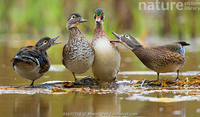 Wood Ducks (Aix sponsa), females behave aggressively toward a male (second from right) that is trying to join them on a floating log, autumn, New York, USA, October.  ,  Wood Ducks,duck,drake,hen,hens,bird,birds,waterfowl,male,females,aggressive,aggression,interacting,interaction,altercation,spacing,personal space,unwelcome,floating,log,vegetation,fall,autumn,three,four,behavior,behaviour,amusing,funny,humor,humour,New York,North America,American,,Animal,Wildlife,Vertebrate,Bird,Birds,Water fowl,Waterfowl,Wood duck,American,Animalia,Animal,Wildlife,Vertebrate,Aves,Bird,Birds,Anseriformes,Water fowl,Galloanserans,Waterfowl,Anatidae,Aix,Aix sponsa,Wood duck,American Wood Duck,Carolina Duck,Carolina wood Duck,Few,Four,Group,North America,USA,Eastern USA,Mid-Atlantic US,New York,Female animal,Male Animal,Animal Behaviour,Territorial,Aggression,Behaviour,American,United States of America,Behavioural,Territories,Territory,Wildfowl,catalogue12  ,  Marie  Read