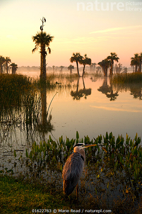 Viera Wetlands at sunrise with Great Blue Heron (Ardea herodias) in the foreground. This man-made wetland forms part of Brevard County's water treatment system in central Florida, USA. March.  ,  Viera Wetlands,wetland,Ritch Grissom Memorial Wetlands,man-made,man,made,artificial,marsh,water treatment system,facility,Great Blue Heron,bird,birds,Ardeidae,sunrise,palm,tree,trees,palm-trees,habitat,environment,Brevard County,Florida,North America,American,,Animal,Wildlife,Vertebrate,Bird,Birds,Typical heron,Great blue heron,American,Animalia,Animal,Wildlife,Vertebrate,Aves,Bird,Birds,Pelecaniformes,Ardeidae,Ardea,Typical heron,Heron,Ardeinae,Ardea herodias,Great blue heron,North America,USA,Southern USA,Southeast USA,Florida,Reflection,Sunrise,Dawn,American,United States of America,  ,  Marie  Read