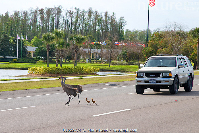 Sandhill cranes (Grus canadensis) (Florida race), adult with two small chicks crossing highway, Kissimmee, Florida, USA, March., Greater Sandhill Crane,cranes,bird,birds,Florida,race,subspecies,adult,parent,baby,babies,chick,chicks,colt,colts,young,family,big,little,large,small,road,highway,suburbs,surburban,car,cars,vehicle,vehicles,traffic,human,environment,habitat,danger,dangerous,threat,endangered,North America,,Animal,Wildlife,Vertebrate,Bird,Birds,Crane,Sandhill crane,American,Animalia,Animal,Wildlife,Vertebrate,Aves,Bird,Birds,Gruiformes,Gruidae,Crane,Grus,Grus canadensis,Sandhill crane,Little brown crane,Canadian crane,Crossing,Danger,North America,USA,Southern USA,Southeast USA,Florida,Young Animal,Baby,Chick,Road,Land Vehicle,Motor Vehicle,Family,Parent baby,American,Car,Automobile,United States of America,,catalogue12, Marie  Read
