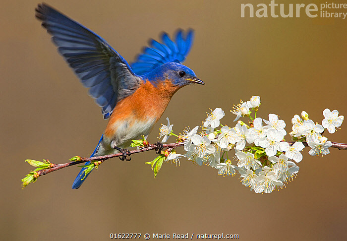Eastern bluebird (Sialia sialis) male fluttering wings while perched on cherry (Prunus sp.) branch in spring, New York, USA, April.  ,  Eastern Bluebird,bird,songbird,passerine,Turdidae,male,blue,orange,spring,cherry,Prunus,flower,flowers,flowering,blossoms,bloom,blossom,white,colorful,wing,wings,fluttering,flutter,flutters,outspread,spread,behavior,behaviour,North America,American,,Animal,Wildlife,Vertebrate,Bird,Birds,Songbird,Thrush,Bluebird,Eastern bluebird,American,Animalia,Animal,Wildlife,Vertebrate,Aves,Bird,Birds,Passeriformes,Songbird,Passerine,Turdidae,Thrush,Sialia,Bluebird,Sialia sialis,Eastern bluebird,Azure bluebird,Colour,Blue,Colourful,North America,USA,Eastern USA,Mid-Atlantic US,New York,Male Animal,Plant,Flower,Wing,Spring,American,United States of America,,catalogue12  ,  Marie  Read