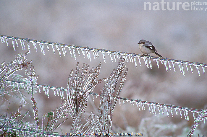 Loggerhead shrike (Lanius ludovicianus) on an ice-covered fence after an ice storm, Anahuac National Wildlife Refuge, Texas, USA. January.  ,  Loggerhead Shrike,Lanidae,bird,songbird,passerine,ice,icy,ice-covered,fence,wire,ice-storm,storm,icicles,weather,winter,wintery. cold,freezing,freeze,survive,survival,Texas,North America,American,,Animal,Wildlife,Vertebrate,Bird,Birds,Songbird,Shrike,Typical shrike,Loggerhead shrike,American,Animalia,Animal,Wildlife,Vertebrate,Aves,Bird,Birds,Passeriformes,Songbird,Passerine,Laniidae,Shrike,Lanius,Typical shrike,Lanius ludovicianus,Loggerhead shrike,Migrant shrike,Butcherbird,Colour,Grey,North America,USA,Southern USA,Texas,Copy Space,Ice,Icicle,Icicles,Winter,Reserve,Protected area,National Park,Negative space,American,United States of America,,catalogue12  ,  Marie  Read