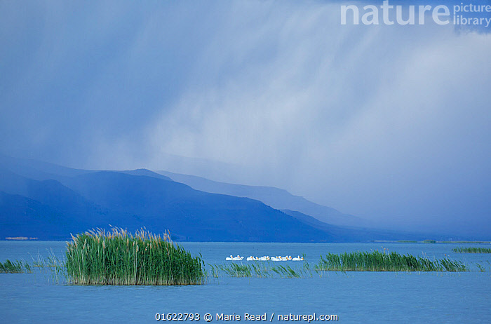 White pelicans (Pelecanus erythrorhynchos) at Bear River Migratory Bird Refuge with an approaching storm in May, Utah, USA, May., Bear River Migratory Bird Refuge,National Wildlife Refuge,White Pelicans,pelican,flock,scene,scenery,scenic,landscape,habitat,environment,wetland,wetlands,aquatic,water,storm,stormy,rain,raining,cloudy,weather,clouds,rainfall,blue,green,spring,Utah,mood,moody,North America,American,,Animal,Wildlife,Vertebrate,Bird,Birds,Pelican,American white pelican,American,Animalia,Animal,Wildlife,Vertebrate,Aves,Bird,Birds,Pelecaniformes,Pelecanidae,Pelican,Pelecanus,Pelecanus erythrorhynchos,American white pelican,Rough billed pelican,Group Of Animals,Flock,Group,North America,USA,Western USA,Southwest USA,Utah,Plant,Grass Family,Reed,Reeds,Sky,Cloud,Storm Cloud,Flowing Water,River,Weather,Raining,Rain,Storm,Landscape,Freshwater,Water,Bad Weather,Habitat,Reserve,Severe weather,Protected area,American,United States of America,, Marie  Read