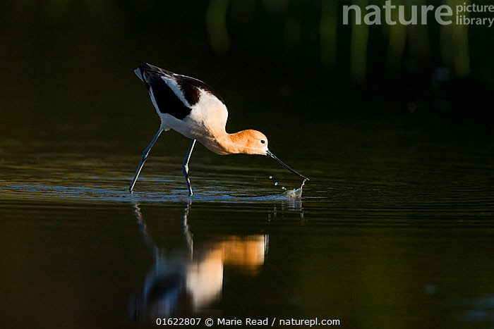 American avocet (Recurvirostra americana), adult in breeding plumage foraging by sweeping its bill from side to side through shallow water, Orange County, California, USA, April., American Avocet,bird,Recurvirostridae,shorebird,wader,wading,adult,forage,foraging,feed,feeding,eat,eating,water,aquatic,wetland,bill,beak,splash,behavior,behaviour,black,white,oraneg,California,North America,American,,Animal,Wildlife,Vertebrate,Bird,Birds,Wader,Avocet,American avocet,American,Animalia,Animal,Wildlife,Vertebrate,Aves,Bird,Birds,Charadriiformes,Recurvirostridae,Wader,Shorebird,Recurvirostra,Avocet,Recurvirostra americana,American avocet,Foraging,North America,USA,Western USA,Southwest USA,California,Profile,Side View,Reflection,American,United States of America,, Marie  Read