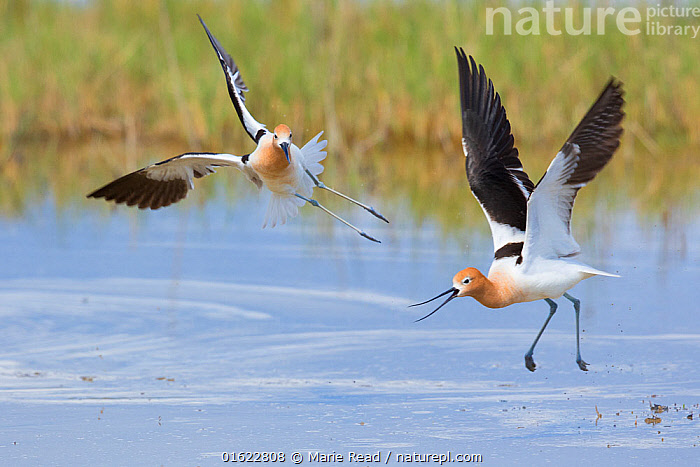American avocets (Recurvirostra americana) two during aggressive (territorial) encounter, Bear River Migratory Bird Refuge, Utah, USA, May.  ,  American Avocet,avocets,bird,birds,two,shorebird,wader,shorebirds,waders,Recurvirostridae,territory,territoriality,territorial,aggressive,aggression,chase,chasing,fight,fighting,interaction,interacting,altercation,encounter,attack,attacking,call,calling,midair,fly,flying,flight,wing,wings,water,aquatic,wetland,marsh,action,behavior,behaviour,Utah,North America,American,,Animal,Wildlife,Vertebrate,Bird,Birds,Wader,Avocet,American avocet,American,Animalia,Animal,Wildlife,Vertebrate,Aves,Bird,Birds,Charadriiformes,Recurvirostridae,Wader,Shorebird,Recurvirostra,Avocet,Recurvirostra americana,American avocet,Flying,North America,USA,Western USA,Southwest USA,Utah,Wetland,Animal Behaviour,Territorial,Aggression,Fighting,Reserve,Behaviour,Protected area,American,United States of America,Behavioural,Territories,Territory,  ,  Marie  Read