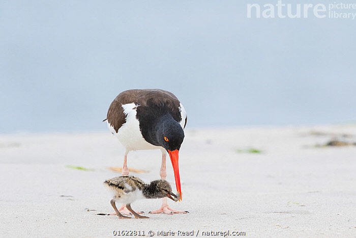 American oystercatcher (Haematopus palliatus) adult feeding chick, Long Island, New York, USA. June.  ,  American Oystercatcher,oystercatchers,birds,bird,shorebird,shorebirds,waders,oyster,catcher,Haematopodidae,two,parent,family,adult,chick,baby,young,youngster,precocial,feed,food,nurture,nurturing,parenting,breed,breeding,reproduction,black,white,red,bill,beak,beach,sand,shore,New York,North America,American,,Animal,Wildlife,Vertebrate,Bird,Birds,Oystercatcher,American oystercatcher,American,Animalia,Animal,Wildlife,Vertebrate,Aves,Bird,Birds,Charadriiformes,Haematopodidae,Oystercatcher,Wader,Shorebird,Haematopus,Haematopus palliatus,American oystercatcher,American pied oystercatcher,Haematopus ostralegus palliatus,North America,USA,Eastern USA,Mid-Atlantic US,New York,Young Animal,Baby,Chick,Animal Behaviour,Feeding,Parental behaviour,Feeding young,Behaviour,Parental,American,United States of America,Behavioural,,catalogue12  ,  Marie  Read