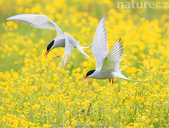 Arctic terns (Sterna paradisaea), two in flight over nesting colony in field of buttercups (Ranunculus sp.), Keflavik, Iceland. Digital canvas expansion.  ,  Arctic Terns,tern,bird,birds,Laridae,two,fly,flying,flight,wing,wings,white,black,red,yellow,call,calling,carry,carrying,fish,prey,food,flowers,flower,bloom,blooming,field,buttercup,buttercups,Ranunculaceae,iceland,behavior,behaviour,,Animal,Wildlife,Vertebrate,Bird,Birds,Tern,Arctic tern,Animalia,Animal,Wildlife,Vertebrate,Aves,Bird,Birds,Charadriiformes,Sternidae,Tern,Gull,Seabird,Sterninae,Sterna,Sterna paradisaea,Arctic tern,Flying,Colour,Yellow,Europe,Northern Europe,North Europe,Nordic Countries,Scandinavia,Iceland,Plant,Flower,,catalogue12  ,  Marie  Read