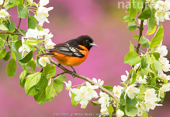 Baltimore oriole (Icterus galbula) male perched in pear (Pyrus sp.) blossom, eastern redbud in background, New York, USA. May.  ,  American,Angiosperm,Angiospermae,Animal,Animalia,Aves,Baltimore Oriole,bird,Birds,blossom,breeding plumage,catalogue12,color,colorful,Coracias galbula,Dicot,Dicotyledon,eastern,Eastern USA,Flower,flowering,Flowering plant,flowers,Icterid,Icteridae,Icterus,Icterus galbula,Magnoliopsida,male,mauve,Mid-Atlantic US,New world blackbird,New world oriole,New York,North America,Northern oriole,orange,Passeriformes,passerine,pear,Pear tree,pink,Plant,plant plant,Plantae,purple,Pyrus,redbud,Rosaceae,Rosales,Rosanae,Rosid,shrub,songbird,Spermatophyte,Spermatophytina,spring,Tracheophyta,tree,United States of America,USA,Vascular plant,Vertebrate,white,Wildlife  ,  Marie  Read