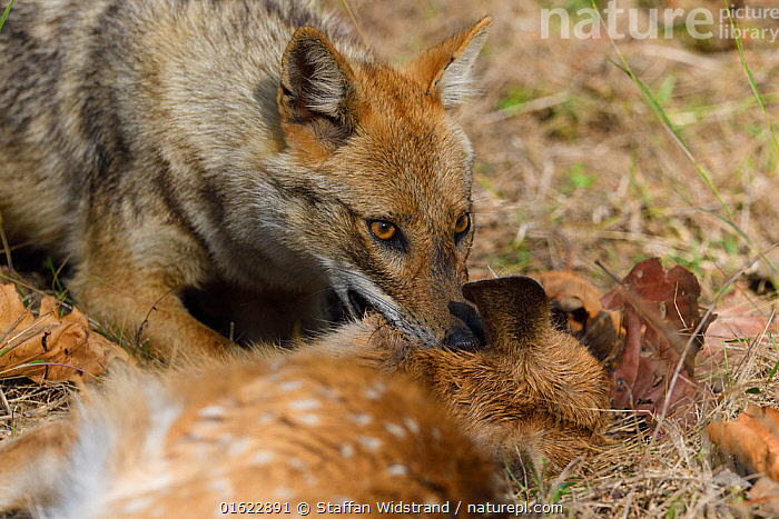 Golden jackal (Canis aureus) with its kill, Spotted deer or Chital (Axis axis) fawn, in Kanha National Park and Tiger Reserve, Madhya Pradesh, India  ,  Animal,Wildlife,Vertebrate,Mammal,Carnivore,Canid,Asiatic Jackal,Deer,Chital deer,Chital,Animalia,Animal,Wildlife,Vertebrate,Mammalia,Mammal,Carnivora,Carnivore,Canidae,Canid,Canis,Canis aureus,Asiatic Jackal,Common Jackal,Golden Jackal,Artiodactyla,Even-toed ungulates,Cervidae,Deer,True deer,ruminantia,Ruminant,Axis,Chital deer,Axis axis,Chital,Axis Deer,Indian Spotted Deer,Asia,Indian Subcontinent,India,Animal Behaviour,Feeding,Predation,Behaviour,Madhya Pradesh,Behavioural,  ,  Staffan Widstrand