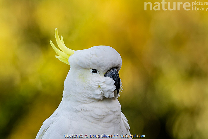 Portrait of a wild Sulphur-crested cockatoo (Cacatua galerita) Skenes Creek, Victoria, Australia.  ,  Animal,Wildlife,Vertebrate,Bird,Birds,Parrot,Cockatoo,Cacatuinae,Sulphur crested cockatoo,Animalia,Animal,Wildlife,Vertebrate,Aves,Bird,Birds,Psittaciformes,Parrot,Psittacines,Cacatuidae,Cockatoo,Cacatuoidea,Cacatua,Cacatuinae,Cacatuini,Cacatua galerita,Sulphur crested cockatoo,Greater sulphur crested cockatoo,Australasia,Australia,Victoria,Close Up,Portrait,  ,  Doug Gimesy