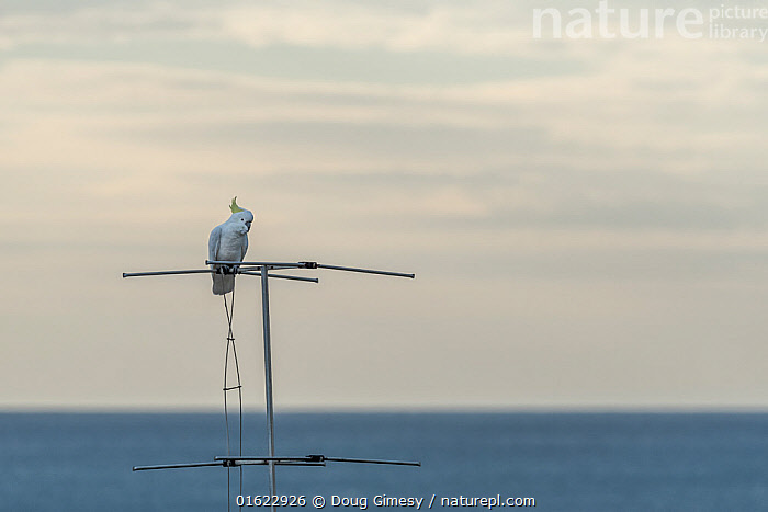 Portrait of a Sulphur-crested cockatoo (Cacatua galerita) perched on a TV antenna. Skenes Creek, Victoria, Australia. March.  ,  Animal,Wildlife,Vertebrate,Bird,Birds,Parrot,Cockatoo,Cacatuinae,Sulphur crested cockatoo,Animalia,Animal,Wildlife,Vertebrate,Aves,Bird,Birds,Psittaciformes,Parrot,Psittacines,Cacatuidae,Cockatoo,Cacatuoidea,Cacatua,Cacatuinae,Cacatuini,Cacatua galerita,Sulphur crested cockatoo,Greater sulphur crested cockatoo,Australasia,Australia,Victoria,Antennae,Building,Residential Structure,House,Houses,Sensory organ,  ,  Doug Gimesy