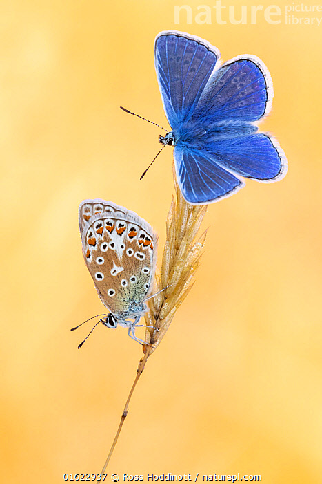 Common blue butterflies (Polyommatus icarus) basking in the morning light, Vealand Farm, Devon, UK. July  ,  Animal,Wildlife,Arthropod,Insect,Gossamer winged butterfly,Common blue,Animalia,Animal,Wildlife,Hexapoda,Arthropod,Invertebrate,Hexapod,Arthropoda,Insecta,Insect,Lepidoptera,Lepidopterans,Lycaenidae,Gossamer winged butterfly,Lycaenid,Butterfly,Papilionoidea,Polyommatus,Polyommatus icarus,Common blue,European common blue,Papilio icarus,Polyommatus abdon,Polyommatus andrnicus,Colour,Yellow,Two,Europe,Western Europe,UK,Great Britain,England,Devon,Plant,Flower,Male female pair,,catalogue12  ,  Ross Hoddinott