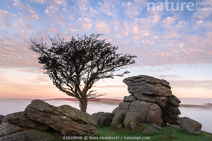 Hawthorn tree and granite outcrop at Holwell tor, sunrise and mist, Dartmoor National Park, Devon, UK. October 2018., Plant,Vascular plant,Flowering plant,Rosid,Hawthorn,Plantae,Plant,Tracheophyta,Vascular plant,Magnoliopsida,Flowering plant,Angiosperm,Seed plant,Spermatophyte,Spermatophytina,Angiospermae,Rosales,Rosid,Dicot,Dicotyledon,Rosanae,Rosaceae,Crataegus,Hawthorn,Europe,Western Europe,UK,Great Britain,England,Devon,Tree,Reserve,Geology,Protected area,National Park,, Ross Hoddinott