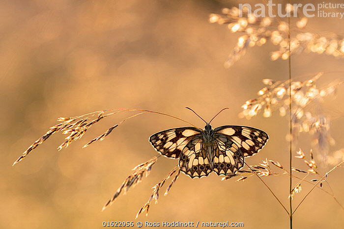 Marbled white butterfly (Melanargia galathea) resting among tall grasses and bathed in warm, early morning sunlight, Volehouse Moor, Devon, UK. July., Animal,Wildlife,Arthropod,Insect,Brushfooted butterfly,Marbled white,Animalia,Animal,Wildlife,Hexapoda,Arthropod,Invertebrate,Hexapod,Arthropoda,Insecta,Insect,Lepidoptera,Lepidopterans,Nymphalidae,Brushfooted butterfly,Fourfooted butterfly,Nymphalid,Butterfly,Papilionoidea,Melanargia,Marbled white,Satyrine,Satyrid,Brown,Satyrinae,Melanargia galathea,Papilio galathea,Magic,Magical,Europe,Western Europe,UK,Great Britain,England,Devon,Sunrise,Beautiful,Dawn,, Ross Hoddinott