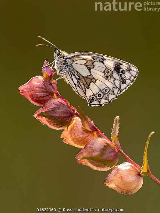 Marbled white butterfly (Melanargia galathea) perched on yellow rattle and bathed in late evening light, Volehouse Moor, Devon, UK. July., Animal,Wildlife,Arthropod,Insect,Brushfooted butterfly,Marbled white,Animalia,Animal,Wildlife,Hexapoda,Arthropod,Invertebrate,Hexapod,Arthropoda,Insecta,Insect,Lepidoptera,Lepidopterans,Nymphalidae,Brushfooted butterfly,Fourfooted butterfly,Nymphalid,Butterfly,Papilionoidea,Melanargia,Marbled white,Satyrine,Satyrid,Brown,Satyrinae,Melanargia galathea,Papilio galathea,Europe,Western Europe,UK,Great Britain,England,Devon,, Ross Hoddinott