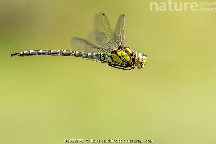 Southern hawker (Aeshna cyanea) dragonfly in flight, Broxwater, Cornwall, UK. July., Animal,Wildlife,Arthropod,Insect,Pterygota,Hawker dragonfly,Southern hawker,Animalia,Animal,Wildlife,Hexapoda,Arthropod,Invertebrate,Hexapod,Arthropoda,Insecta,Insect,Odonata,Pterygota,Aeshnidae,Hawker dragonfly,Hawker,Darner dragonfly,Darner,Dragonfly,Anisoptera,Epiprocta,Aeshna,Mosaic darner,Aeshna cyanea,Southern hawker,Blue hawker,Blue darner,Libellula cyanea,Aeschna atshischgho,Libellula varia,Flying,Europe,Western Europe,UK,Great Britain,England,Cornwall,Copy Space,Negative space,Endangered species, Ross Hoddinott