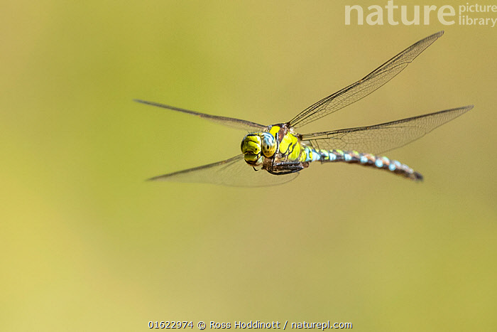 Southern hawker (Aeshna cyanea) dragonfly in flight, Broxwater, Cornwall, UK. July.  ,  Animal,Wildlife,Arthropod,Insect,Pterygota,Hawker dragonfly,Southern hawker,Animalia,Animal,Wildlife,Hexapoda,Arthropod,Invertebrate,Hexapod,Arthropoda,Insecta,Insect,Odonata,Pterygota,Aeshnidae,Hawker dragonfly,Hawker,Darner dragonfly,Darner,Dragonfly,Anisoptera,Epiprocta,Aeshna,Mosaic darner,Aeshna cyanea,Southern hawker,Blue hawker,Blue darner,Libellula cyanea,Aeschna atshischgho,Libellula varia,Flying,Europe,Western Europe,UK,Great Britain,England,Cornwall,Copy Space,Negative space,Endangered species,catalogue12  ,  Ross Hoddinott