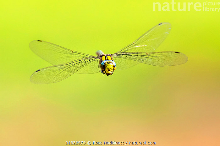 Southern hawker (Aeshna cyanea) dragonfly in flight, Broxwater, Cornwall, UK. August.  ,  Animal,Wildlife,Arthropod,Insect,Pterygota,Hawker dragonfly,Southern hawker,Animalia,Animal,Wildlife,Hexapoda,Arthropod,Invertebrate,Hexapod,Arthropoda,Insecta,Insect,Odonata,Pterygota,Aeshnidae,Hawker dragonfly,Hawker,Darner dragonfly,Darner,Dragonfly,Anisoptera,Epiprocta,Aeshna,Mosaic darner,Aeshna cyanea,Southern hawker,Blue hawker,Blue darner,Libellula cyanea,Aeschna atshischgho,Libellula varia,Flying,Europe,Western Europe,UK,Great Britain,England,Cornwall,Copy Space,Negative space,Endangered species  ,  Ross Hoddinott