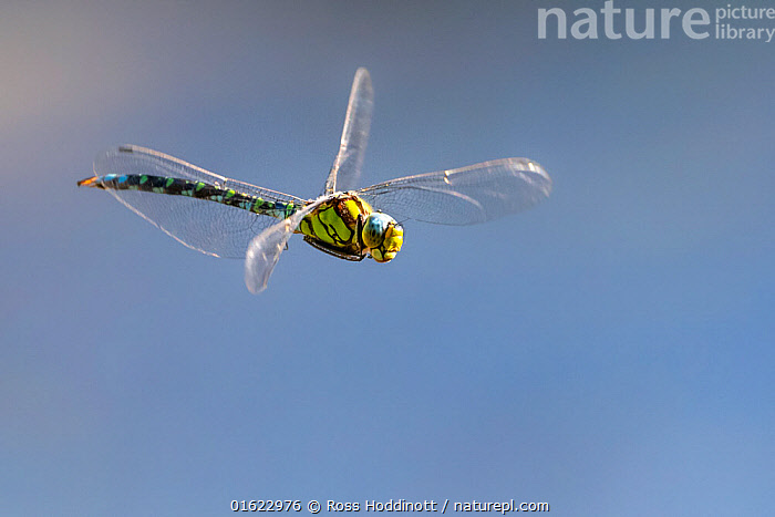 Southern hawker (Aeshna cyanea) dragonfly in flight, Broxwater, Cornwall, UK. August.  ,  Animal,Wildlife,Arthropod,Insect,Pterygota,Hawker dragonfly,Southern hawker,Animalia,Animal,Wildlife,Hexapoda,Arthropod,Invertebrate,Hexapod,Arthropoda,Insecta,Insect,Odonata,Pterygota,Aeshnidae,Hawker dragonfly,Hawker,Darner dragonfly,Darner,Dragonfly,Anisoptera,Epiprocta,Aeshna,Mosaic darner,Aeshna cyanea,Southern hawker,Blue hawker,Blue darner,Libellula cyanea,Aeschna atshischgho,Libellula varia,Europe,Western Europe,UK,Great Britain,England,Cornwall,Endangered species  ,  Ross Hoddinott