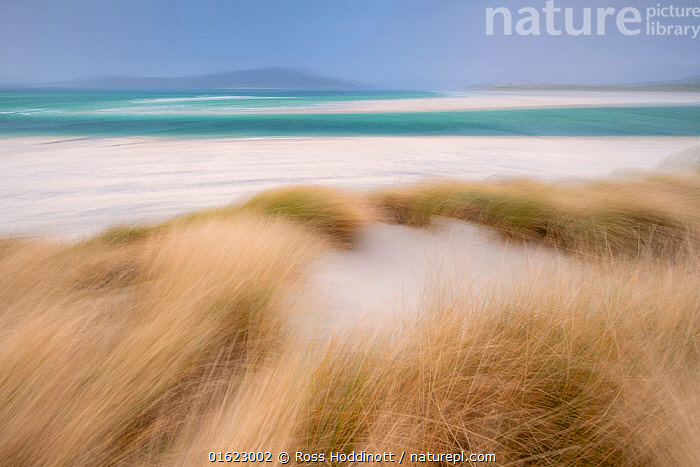 RF - Sand dunes with Marram grass (Ammophila arenaria) and beach at Seilebost beach, Isle of Harris, Scotland, UK. October (This image may be licensed either as rights managed or royalty free.), Plant,Vascular plant,Flowering plant,Monocot,Grass,Beachgrass,Marram grass,Plantae,Plant,Tracheophyta,Vascular plant,Magnoliopsida,Flowering plant,Angiosperm,Seed plant,Spermatophyte,Spermatophytina,Angiospermae,Poales,Monocot,Monocotyledon,Lilianae,Poaceae,Grass,True grass,Gramineae,Ammophila,Beachgrass,Beach grass,Ammophila arenaria,Marram grass,European marram grass,European beachgrass,Arundo arenaria,Ammophila arundinaceae,Phalaris maritima,Europe,Western Europe,UK,Great Britain,Scotland,Outer Hebrides,Sand Dune,Hebrides,Scottish islands,Scottish isles,RF,Royalty free,RF4,, Ross Hoddinott