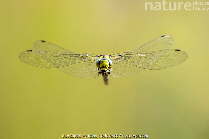 RF - Southern hawker (Aeshna cyanea) dragonfly in flight, Broxwater, Cornwall, UK. August. (This image may be licensed either as rights managed or royalty free.)  ,  Animal,Wildlife,Arthropod,Insect,Pterygota,Hawker dragonfly,Southern hawker,Animalia,Animal,Wildlife,Hexapoda,Arthropod,Invertebrate,Hexapod,Arthropoda,Insecta,Insect,Odonata,Pterygota,Aeshnidae,Hawker dragonfly,Hawker,Darner dragonfly,Darner,Dragonfly,Anisoptera,Epiprocta,Aeshna,Mosaic darner,Aeshna cyanea,Southern hawker,Blue hawker,Blue darner,Libellula cyanea,Aeschna atshischgho,Libellula varia,Flying,Europe,Western Europe,UK,Great Britain,England,Cornwall,Copy Space,Negative space,RF,Royalty free,RF4,Endangered species  ,  Ross Hoddinott