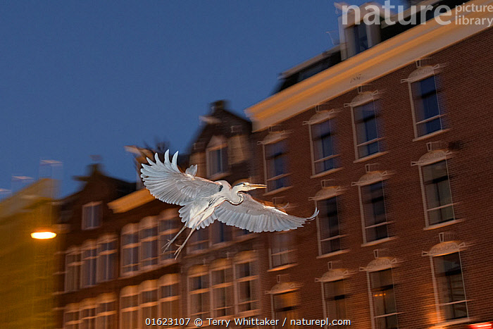 Grey heron ( Ardea cinerea) flying at night, Amsterdam, Netherlands. April., Animal,Wildlife,Vertebrate,Bird,Birds,Typical heron,Grey heron,Animalia,Animal,Wildlife,Vertebrate,Aves,Bird,Birds,Pelecaniformes,Ardeidae,Ardea,Typical heron,Heron,Ardeinae,Ardea cinerea,Grey heron,Europe,Western Europe,The Netherlands,Holland,Netherlands,, Terry  Whittaker