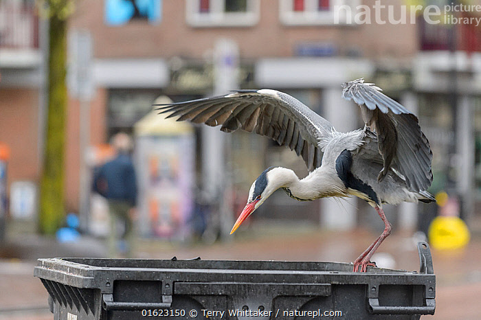 Grey heron ( Ardea cinerea) flying to bin. Herons congregate around the fish stalls as city markets are closing, picking up scraps of food. Amsterdam, Netherlands. April.  ,  Animal,Wildlife,Vertebrate,Bird,Birds,Typical heron,Grey heron,Animalia,Animal,Wildlife,Vertebrate,Aves,Bird,Birds,Pelecaniformes,Ardeidae,Ardea,Typical heron,Heron,Ardeinae,Ardea cinerea,Grey heron,Flying,Europe,Western Europe,The Netherlands,Holland,Netherlands,Container,Containers,Bin,Bins,City,Feeding,Scavenging,,catalogue12  ,  Terry  Whittaker