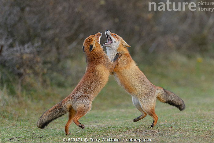 RF - Two Red foxes (Vulpes vulpes) on hind legs play fighting, Netherlands. (This image may be licensed either as rights managed or royalty free.)  ,  Animal,Wildlife,Vertebrate,Mammal,Carnivore,Canid,True fox,Red fox,Animalia,Animal,Wildlife,Vertebrate,Mammalia,Mammal,Carnivora,Carnivore,Canidae,Canid,Vulpes,True fox,Vulpini,Caninae,Vulpes vulpes,Red fox,Europe,Western Europe,The Netherlands,Holland,Netherlands,Sand Dune,Animal Behaviour,Aggression,Fighting,Behaviour,Behavioural,,RF,Royalty free,,,RF5,  ,  Terry  Whittaker