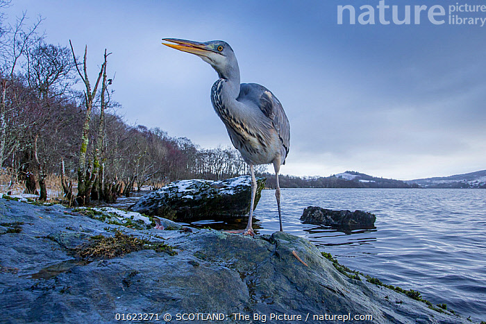 Grey Heron (Ardea cinerea) hunting for food on rock with loch and Celtic rainforest in back ground, Scotland, UK, January.  ,  Animal,Wildlife,Vertebrate,Bird,Birds,Typical heron,Grey heron,Animalia,Animal,Wildlife,Vertebrate,Aves,Bird,Birds,Pelecaniformes,Ardeidae,Ardea,Typical heron,Heron,Ardeinae,Ardea cinerea,Grey heron,Europe,Western Europe,UK,Great Britain,Scotland,Low Angle View,Wide Angle,Freshwater,Lake,Water,Habitat,Loch,SCOTLAND: The Big Picture,Phillip Price,  ,  SCOTLAND: The Big Picture