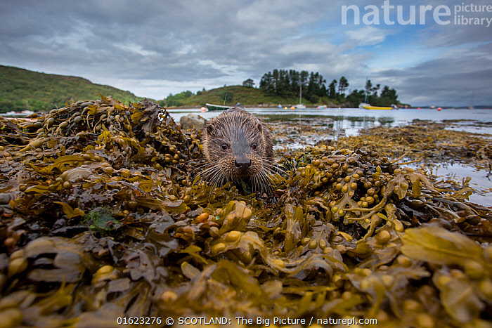 Otter (Lutra lutra) portrait on shore with boats in background. Argyll, Scotland, UK, August.  ,  Animal,Wildlife,Vertebrate,Mammal,Carnivore,Mustelid,River otter,Common Otter,Animalia,Animal,Wildlife,Vertebrate,Mammalia,Mammal,Carnivora,Carnivore,Mustelidae,Mustelid,Lutra,River otter,Lutra lutra,Common Otter,Eurasian Otter,European Otter,European River Otter,Old World Otter,Europe,Western Europe,UK,Great Britain,Scotland,Boat,Island,Islands,Coast,Coastal,SCOTLAND: The Big Picture,Phillip Price,,catalogue12  ,  SCOTLAND: The Big Picture