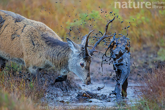 Red Deer (Cervus elaphus) covering itself in mud from a muddy puddle after urinating in it in order to smell strong and warn off rivals, Scotland, UK, October.  ,  Animal,Wildlife,Vertebrate,Mammal,Deer,Red Deer,Animalia,Animal,Wildlife,Vertebrate,Mammalia,Mammal,Artiodactyla,Even-toed ungulates,Cervidae,Deer,True deer,ruminantia,Ruminant,Cervus,Cervus elaphus,Red Deer,Courting,Europe,Western Europe,UK,Great Britain,Scotland,Male Animal,Stag,Stags,Mud,Muddy,Water,Animal Behaviour,Reproduction,Mating Behaviour,Courtship,Behaviour,Rutting,Puddle,SCOTLAND: The Big Picture,Behavioural,Phillip Price,  ,  SCOTLAND: The Big Picture