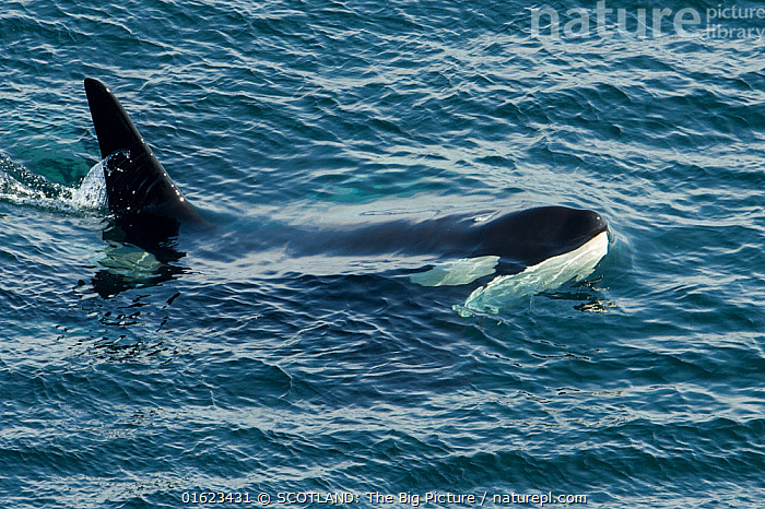 Orca (Orcinus orca) surfacing, Shetland, Scotland, UK, August., Animal,Wildlife,Vertebrate,Mammal,Ceteacean,Oceanic dolphin,Killer Whale,Animalia,Animal,Wildlife,Vertebrate,Mammalia,Mammal,Cetacea,Ceteacean,Delphinidae,Oceanic dolphin,Dolphin,Odontoceti,Orcinus,Orcinus orca,Killer Whale,Orca,Orcinus gladiator,Orcinus ater,Orcinus capensis,Group Of Animals,Group,Europe,Western Europe,UK,Great Britain,Scotland,Shetland,Male Animal,Bull,Bulls,Ocean,Atlantic Ocean,Marine,Water,Saltwater,Pod,Surface,SCOTLAND: The Big Picture,Richard Shucksmith,Marine, SCOTLAND: The Big Picture