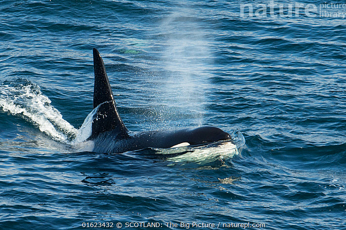 Orca (Orcinus orca) surfacing and blowing, Shetland, Scotland, UK, August., Animal,Wildlife,Vertebrate,Mammal,Ceteacean,Oceanic dolphin,Killer Whale,Animalia,Animal,Wildlife,Vertebrate,Mammalia,Mammal,Cetacea,Ceteacean,Delphinidae,Oceanic dolphin,Dolphin,Odontoceti,Orcinus,Orcinus orca,Killer Whale,Orca,Orcinus gladiator,Orcinus ater,Orcinus capensis,Group Of Animals,Group,Europe,Western Europe,UK,Great Britain,Scotland,Shetland,Male Animal,Bull,Bulls,Ocean,Atlantic Ocean,Marine,Water,Saltwater,Pod,Surface,SCOTLAND: The Big Picture,Richard Shucksmith,Marine,catalogue12, SCOTLAND: The Big Picture