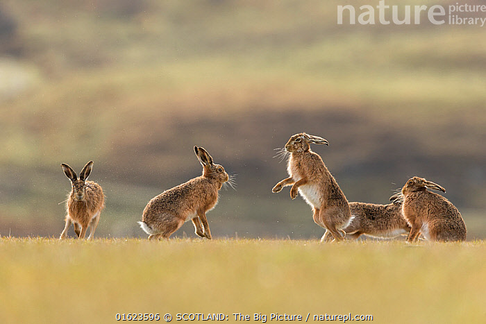 Brown hare, (Lepus europaeus), group of animals in field, Islay, Scotland, UK., March  ,  Animal,Wildlife,Vertebrate,Mammal,Lagomorph,Leporid,Hare,Brown Hare,Animalia,Animal,Wildlife,Vertebrate,Mammalia,Mammal,Lagomorpha,Lagomorph,Leporidae,Leporid,Lepus,Hare,Lepus europaeus,Brown Hare,European Brown Hare,European Hare,Eulagos europaeus,Running,Courting,Few,Four,Group,March,Europe,Western Europe,UK,Great Britain,Scotland,Animal Behaviour,Reproduction,Mating Behaviour,Courtship,Behaviour,Hebrides,Inner Hebrides,Islay,Scottish islands,Scottish isles,Isle of Islay,Moving,SCOTLAND: The Big Picture,Mark Hamblin,Behavioural,Movement,,catalogue12  ,  SCOTLAND: The Big Picture